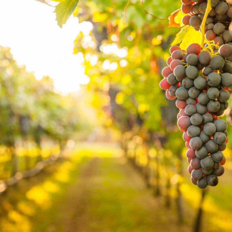 Grapes at a California Winery.