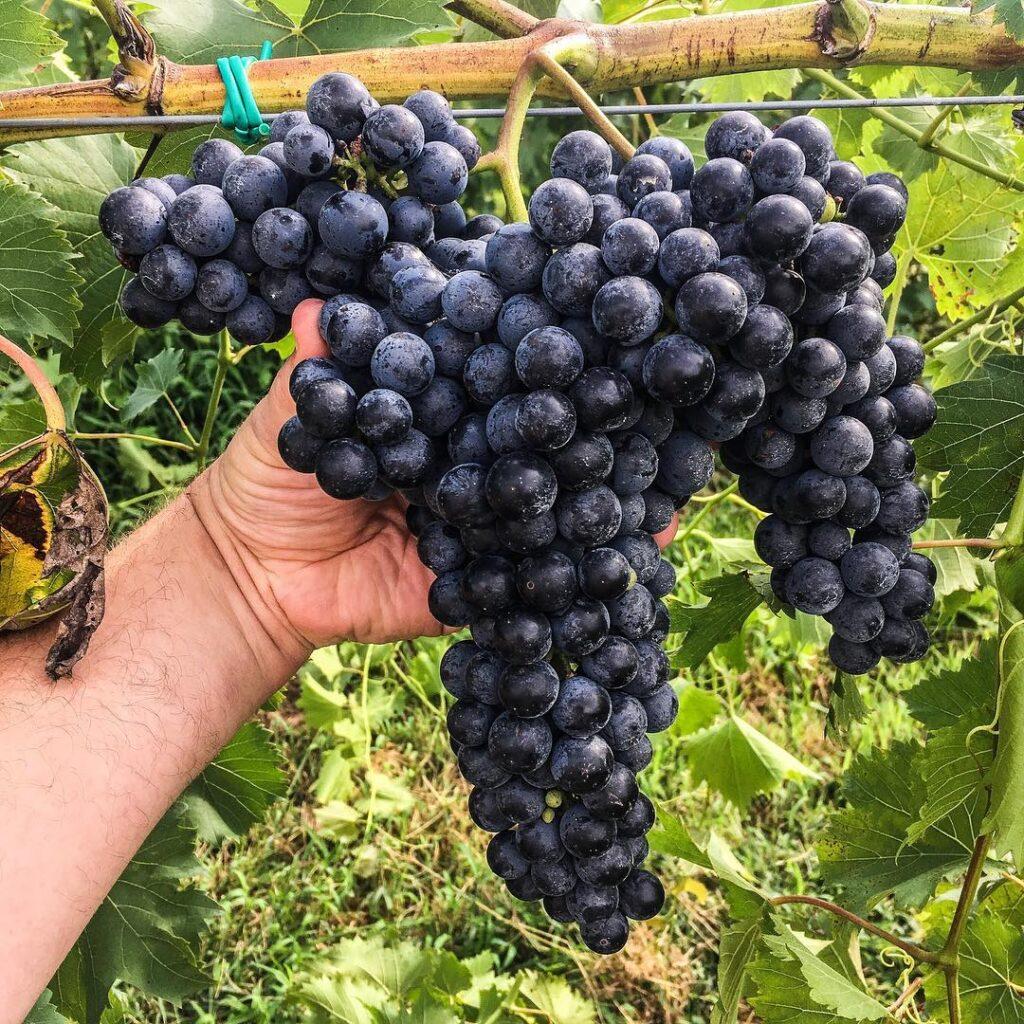 Grapes at a vineyard along the Shawnee Hills Wine Trail.