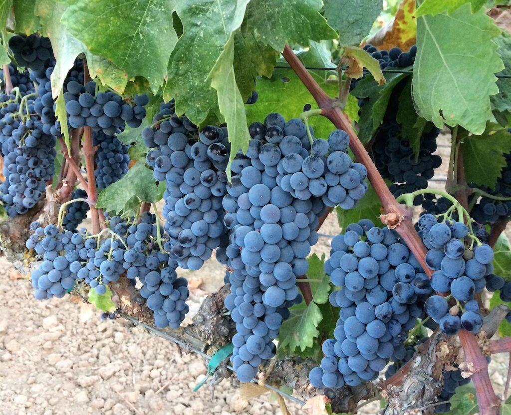 Grapes at a vineyard in Lodi, California.
