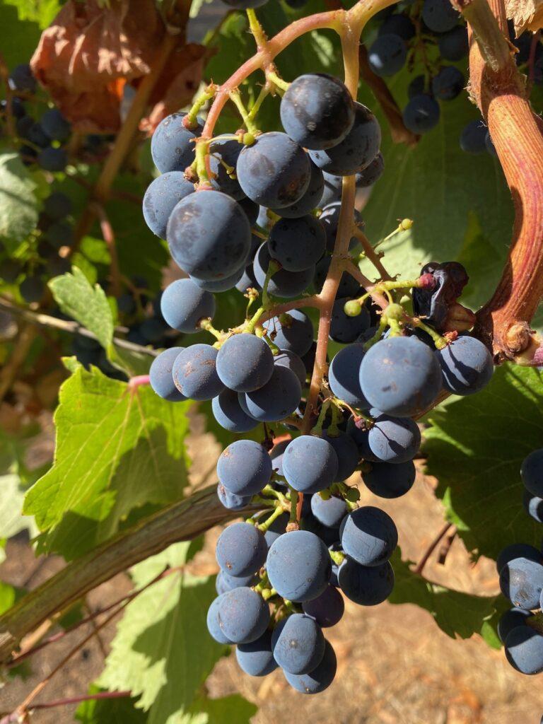 Grapes at Jordan Vineyard in Sonoma County.