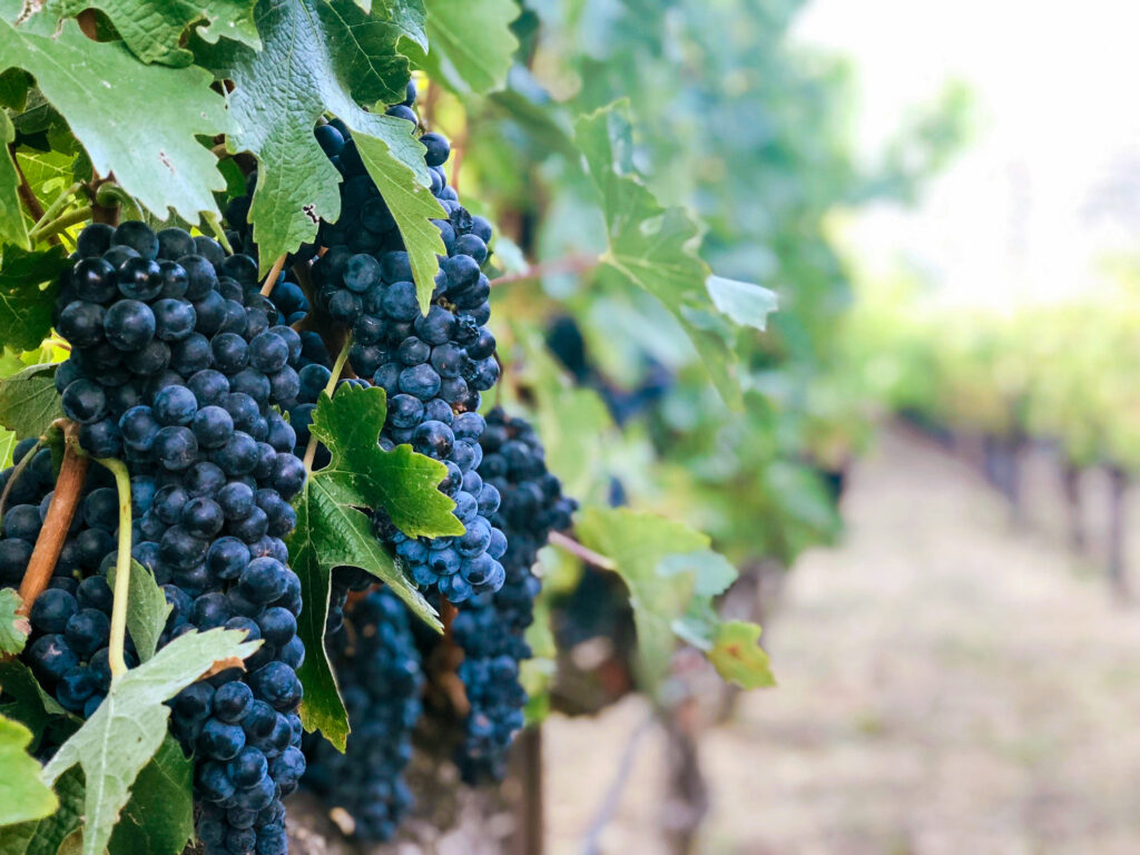 Grapes growing at a winery in Napa Valley.