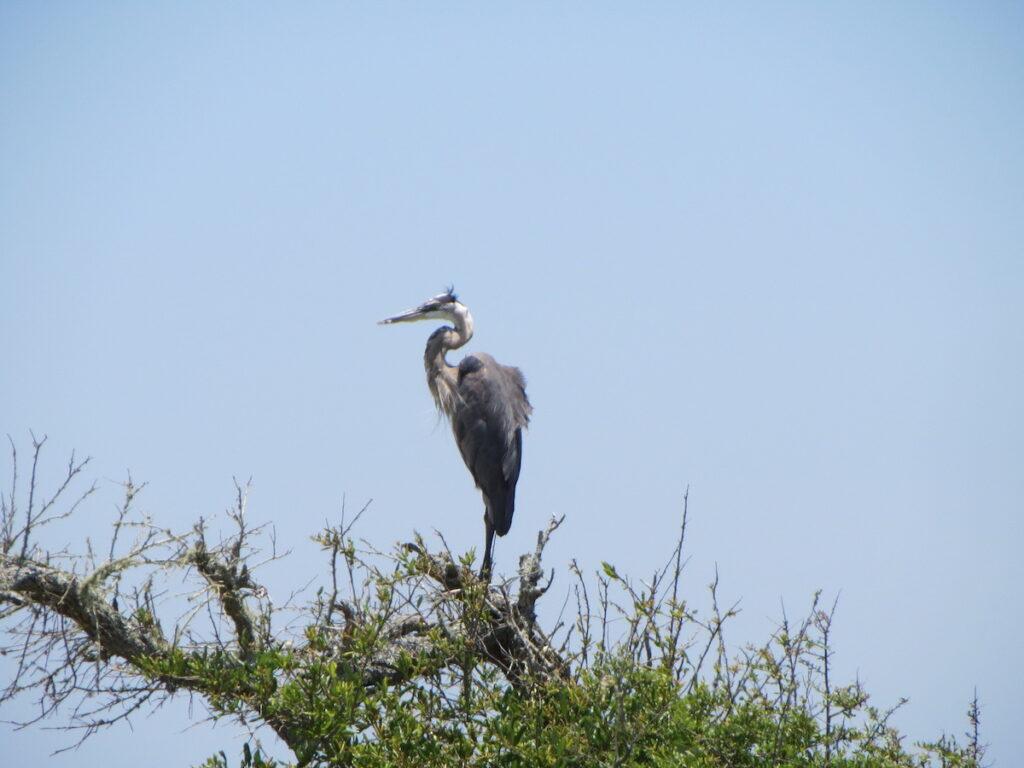 Great blue heron, Fort Barrancas, Pensacola.