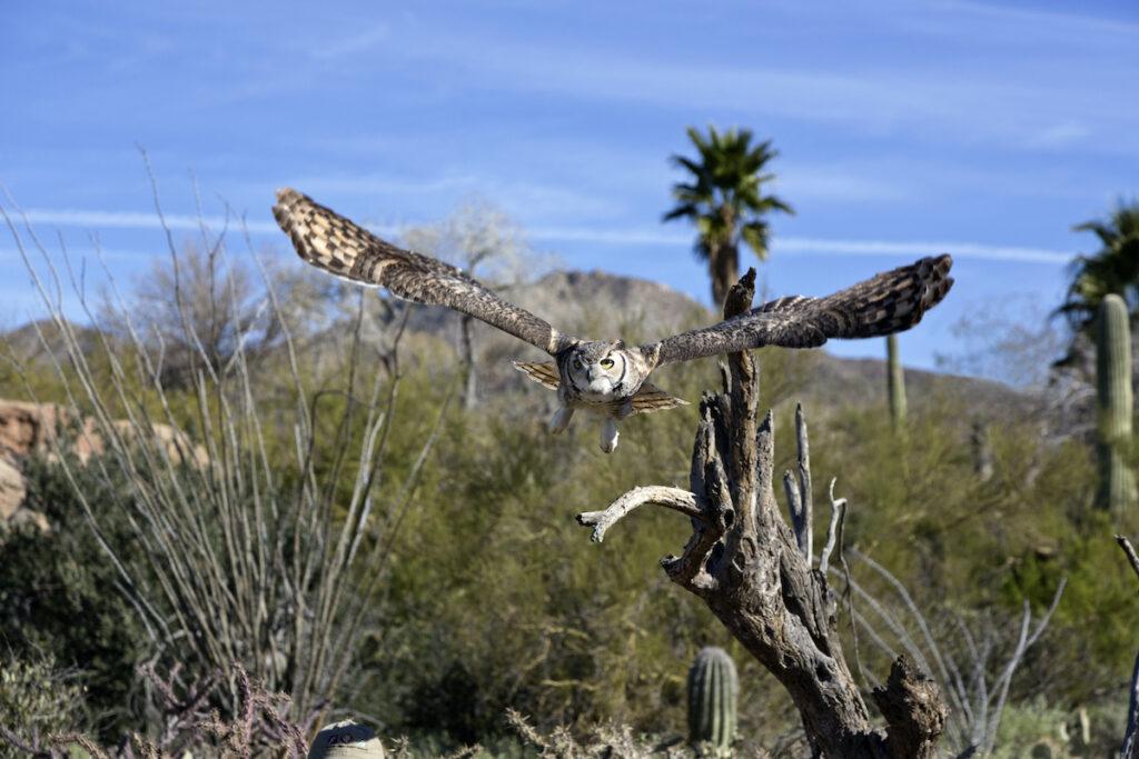 Great horned owl, Arizona-Sonora Desert Museum.