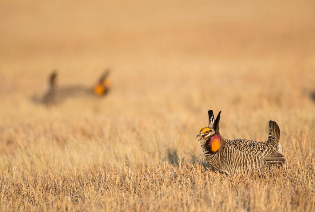 Greater prairie chickens in Nebraska.
