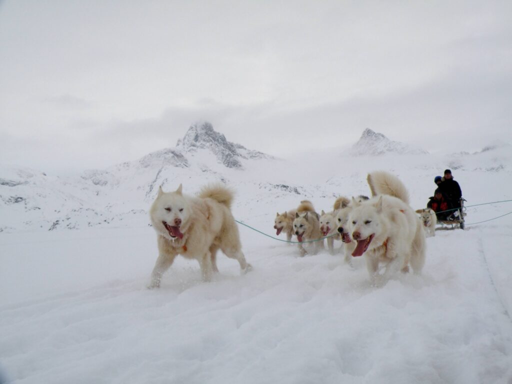 Greenland Dogs pulling a sled.