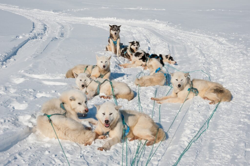 Greenland Dogs resting in the snow.