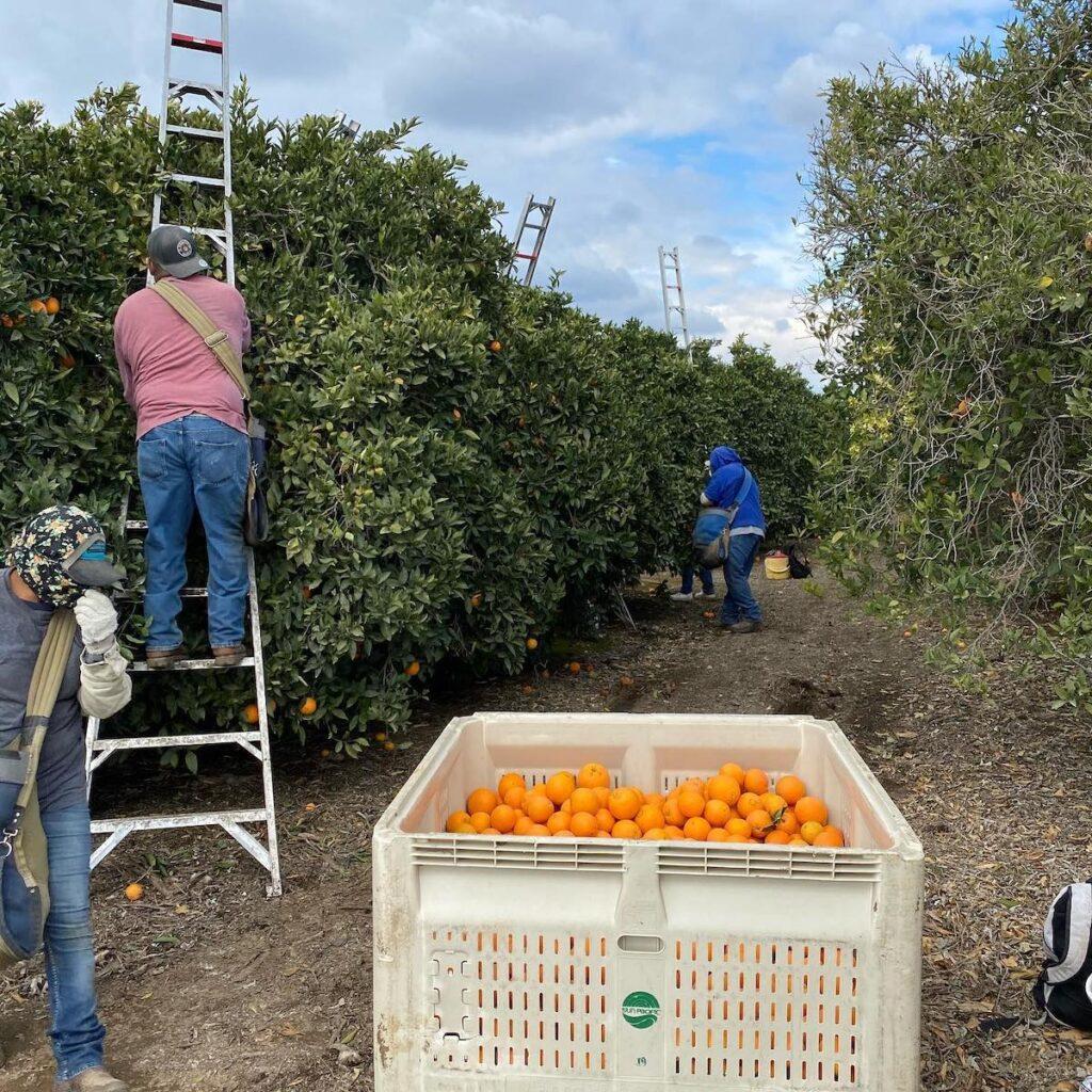 Harvesting oranges at McKellar Family Farms.