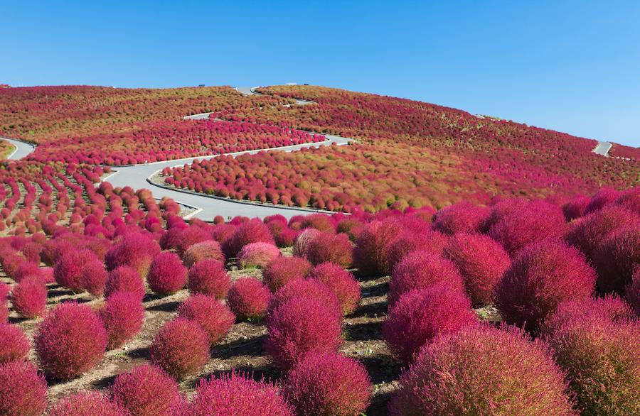 Hitachi Seaside Park in Japan.