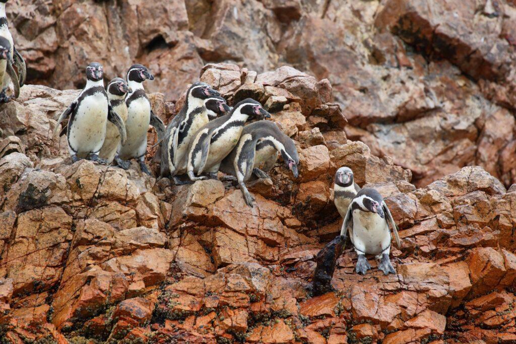 Humboldt penguins on the Islas Ballestas.