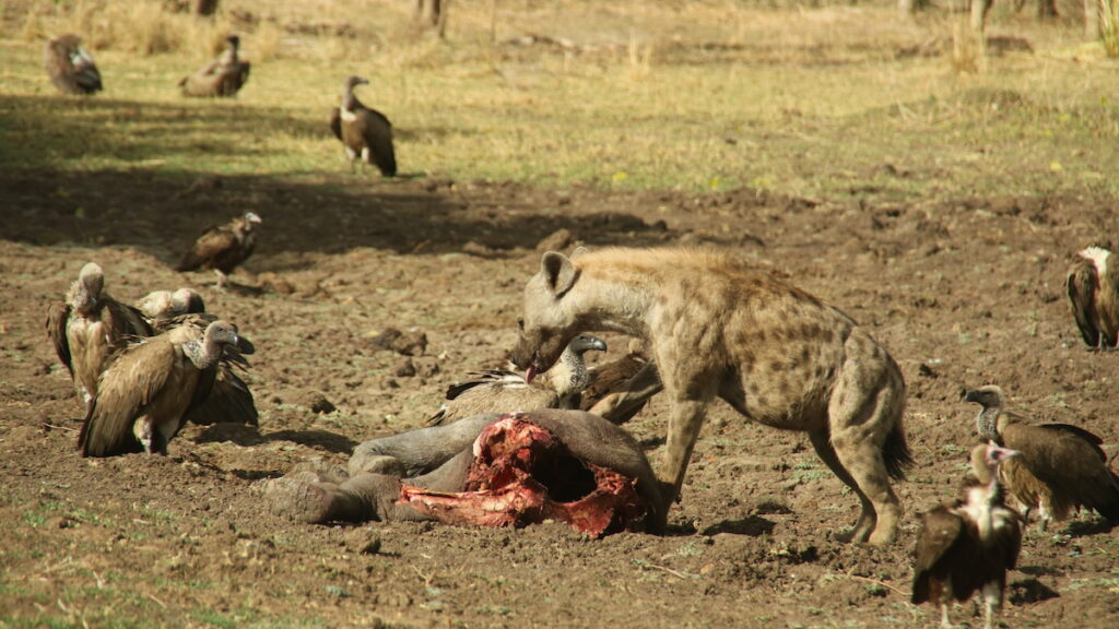 Hyenas and vultures eating an animal.