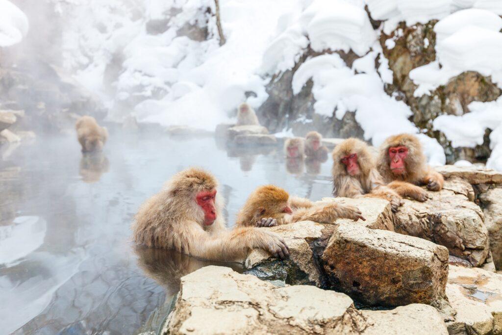 Japanese Snow Monkeys in Nagano, Japan.