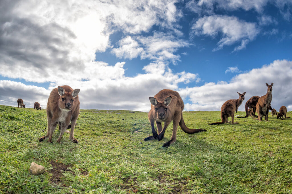 Kangaroos on Kangaroo Island.
