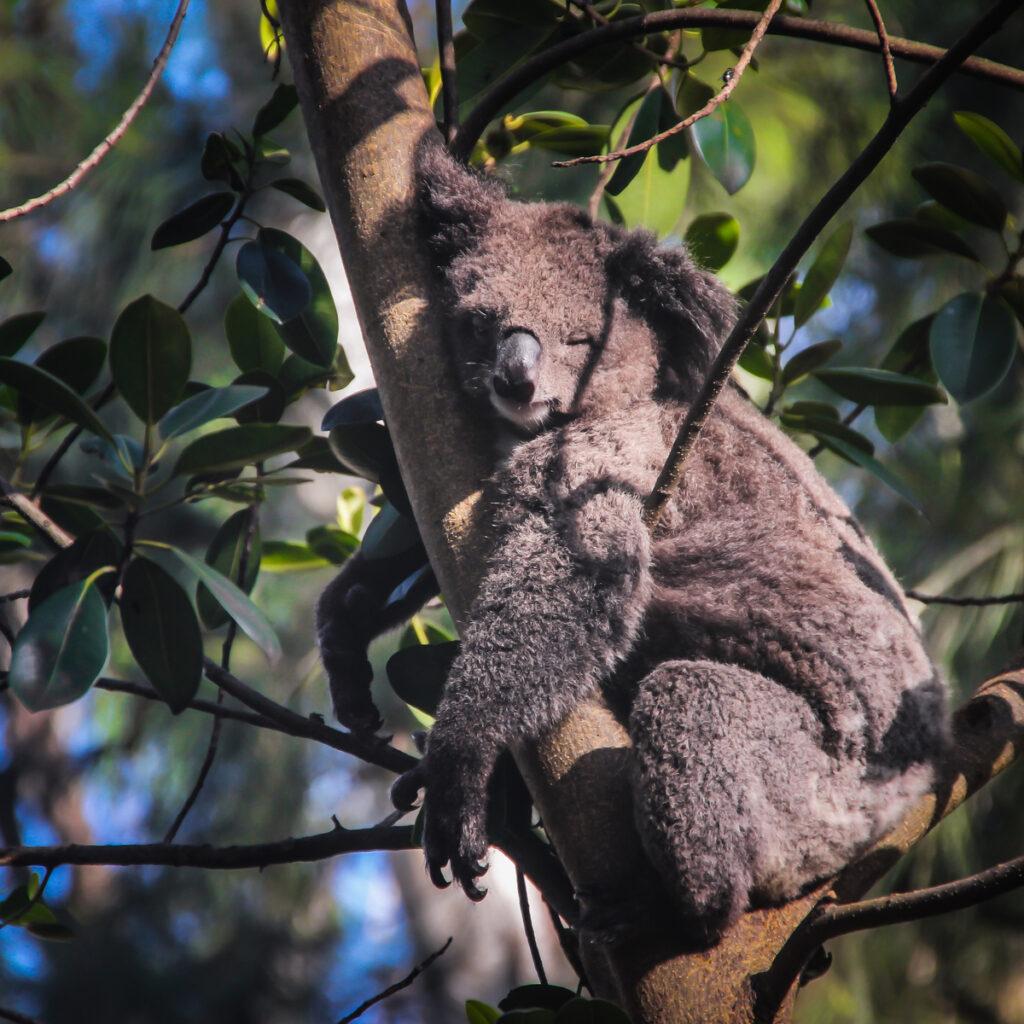 Koala at the Featherdale Wildlife Park.