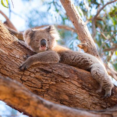 Koala on Kangaroo Island, Australia.