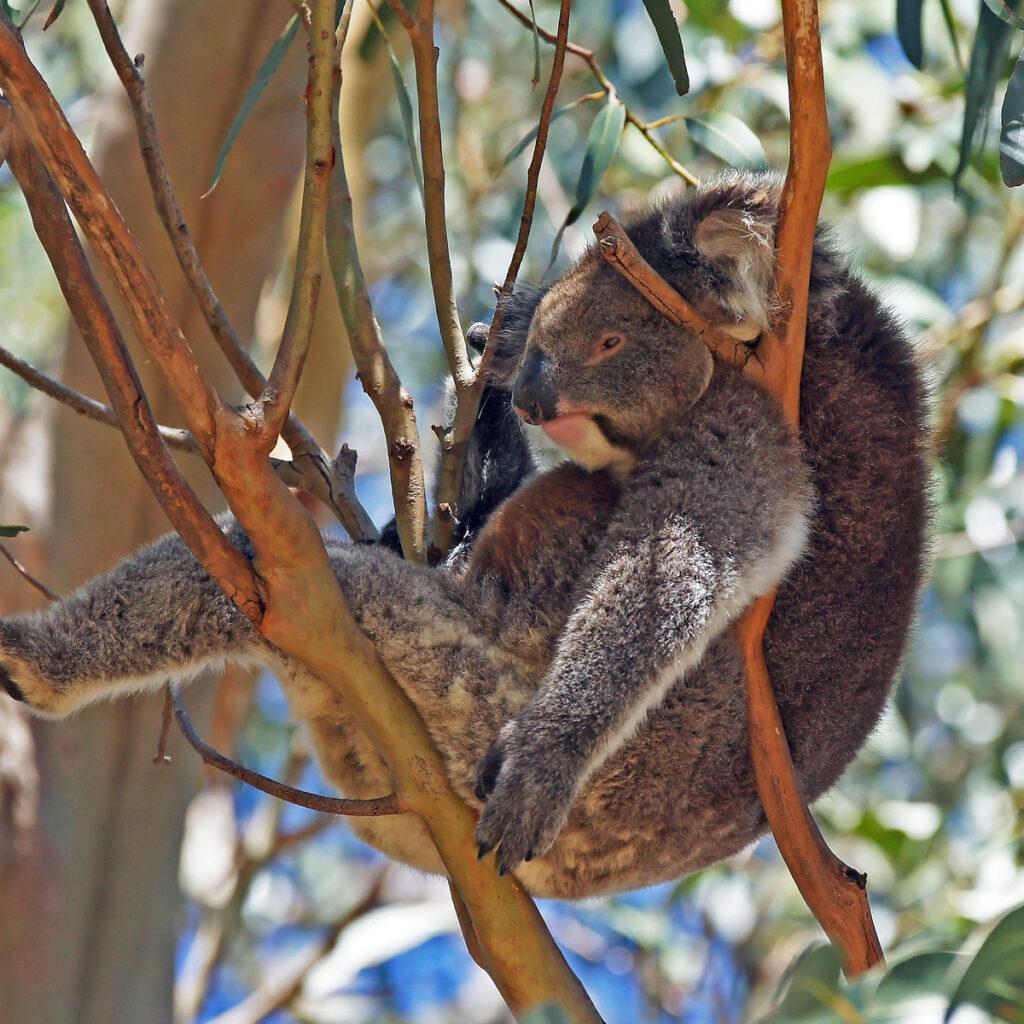 Koala on Kangaroo Island.