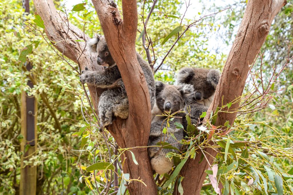 Koalas on Kangaroo Island.
