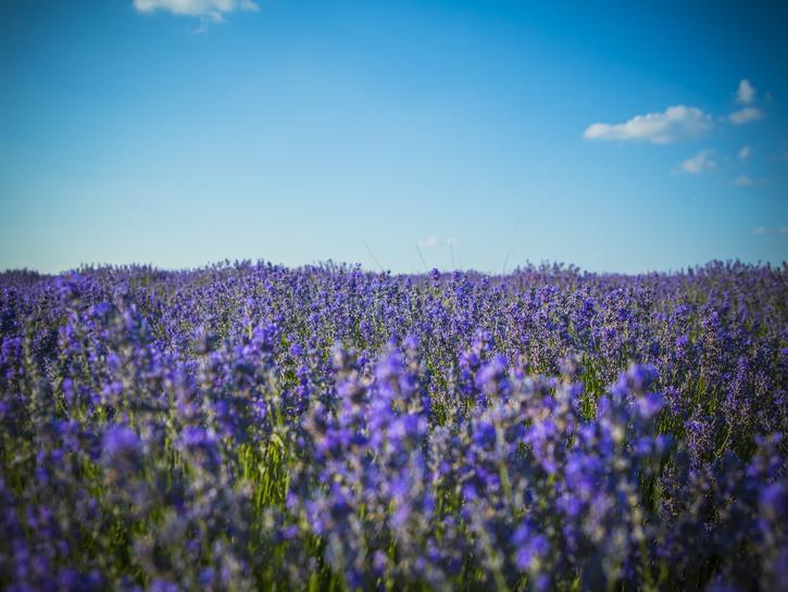 Lavender field, Moldova