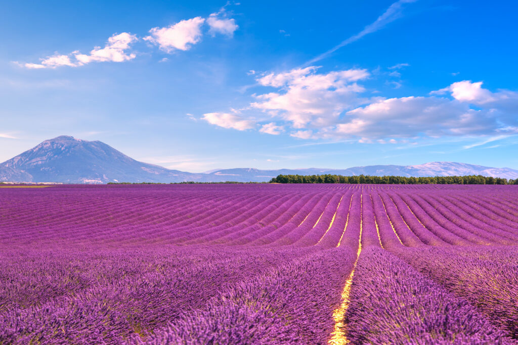 Lavender fields at Valensole Plateau in France.