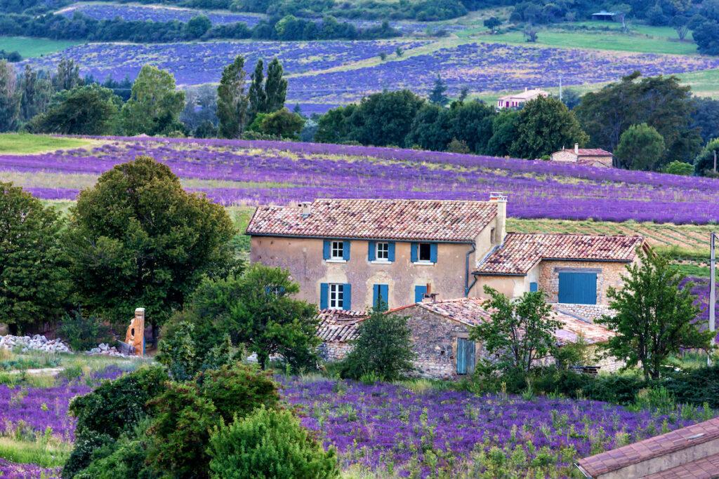 Lavender fields in Salut. France.