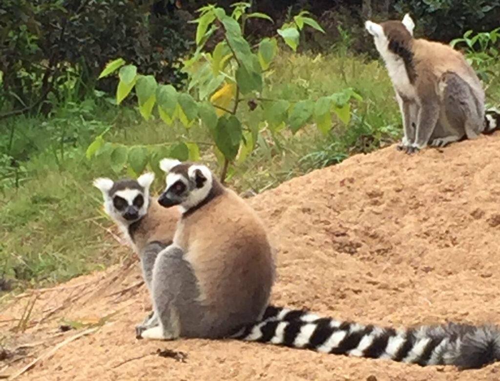 Lemurs in Madagascar.