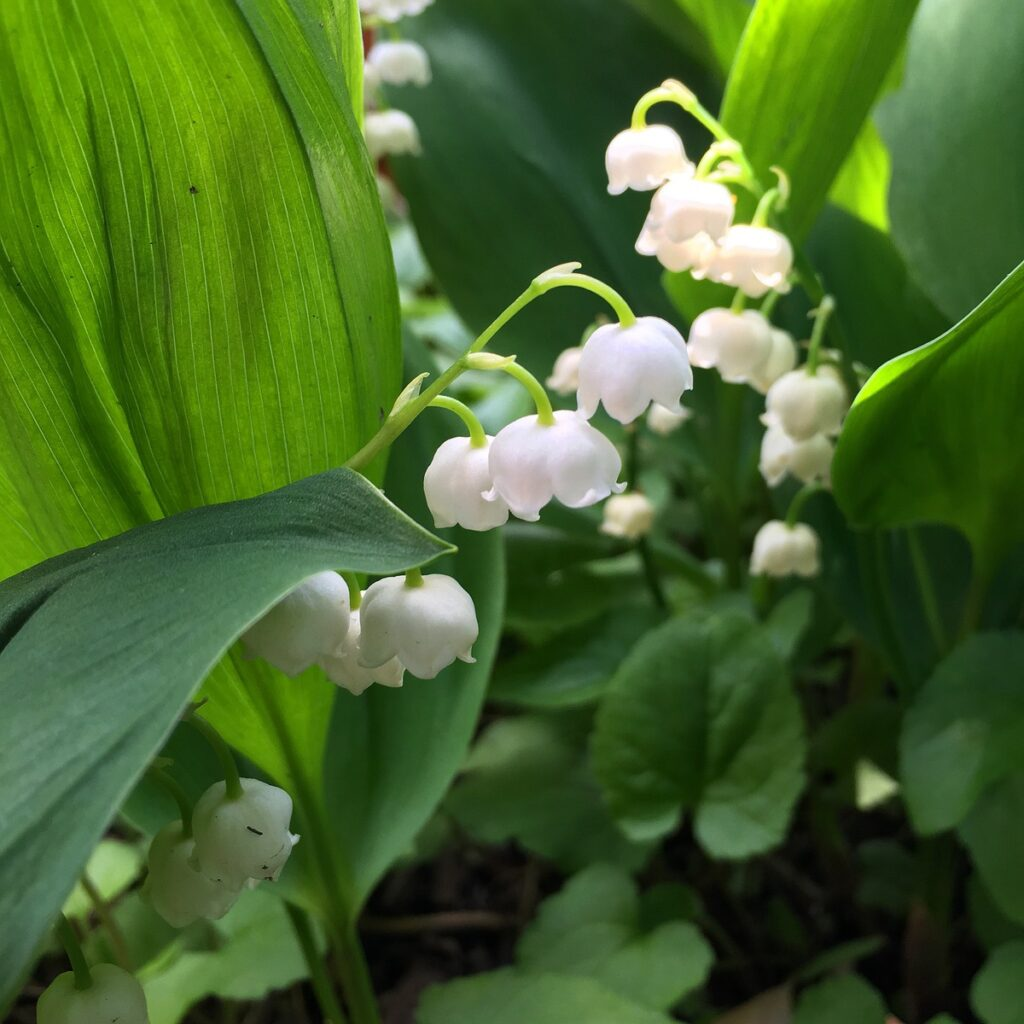 Lilies of the valley in Finland.