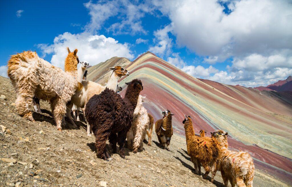 Llamas on Rainbow Mountain in Peru.