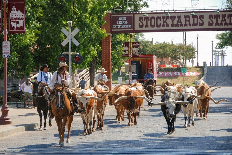 Longhorn cattle in the Fort Worth Stockyards Stampede