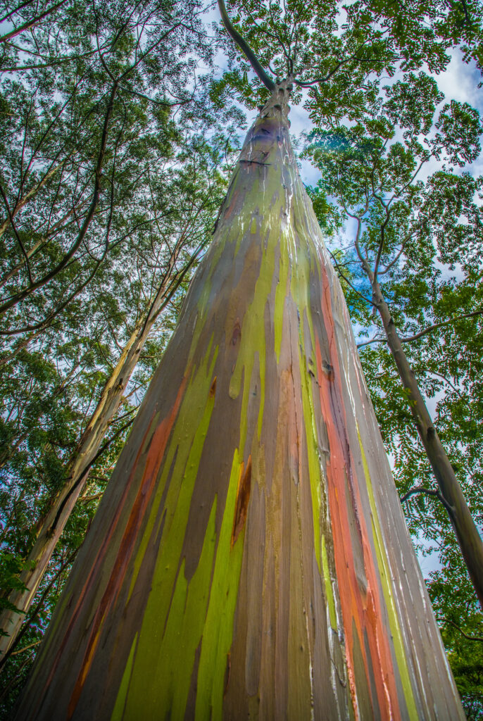 Looking up the trunk of a rainbow eucalyptus tree.