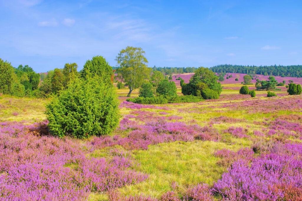 Lueneburg Heath in near Wilsede, Germany.