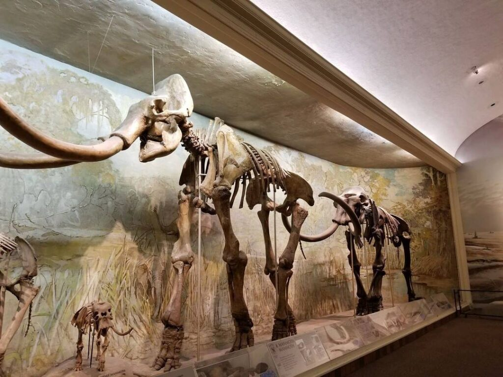 Mammoth fossils at the University of Nebraska State Museum.