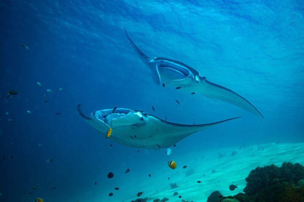 Manta rays off the coast of Komodo National Park.