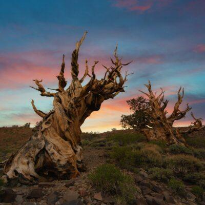 Methuselah, ancient Bristlecone pine tree, California.