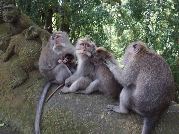 Moneys grooming each other on tree trunk, Bali