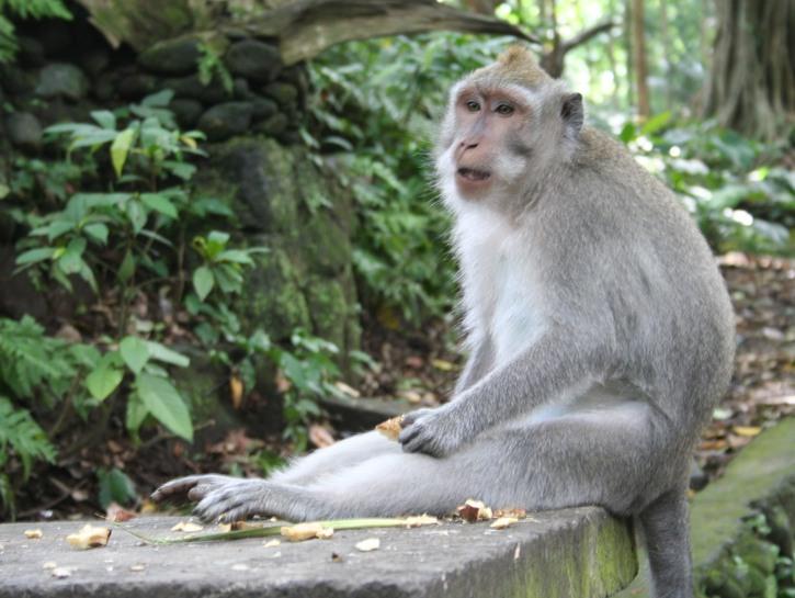 Monkey in Monkey Forest, Bali