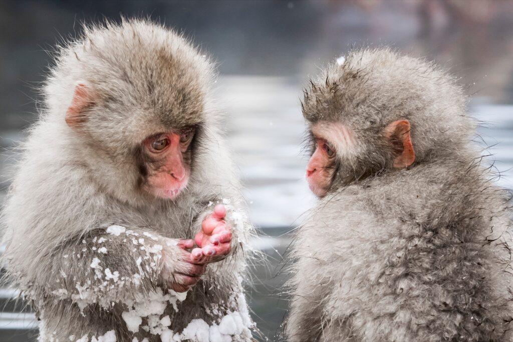 Monkeys at Jigokundani Yaen-Koen.