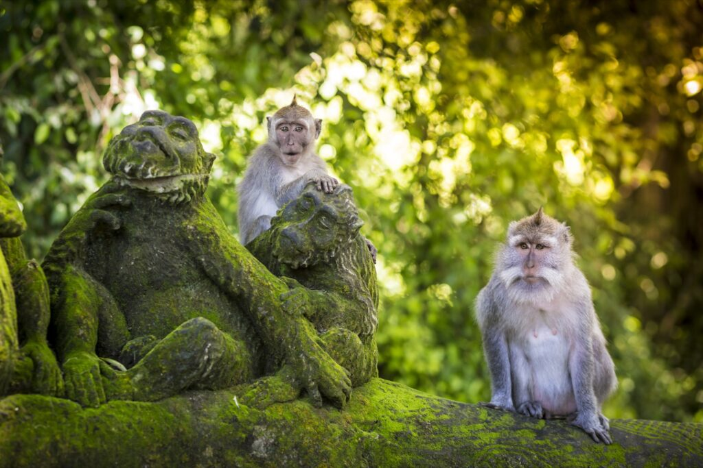 Monkeys at the Sacred Monkey Forest of Padangtegal.