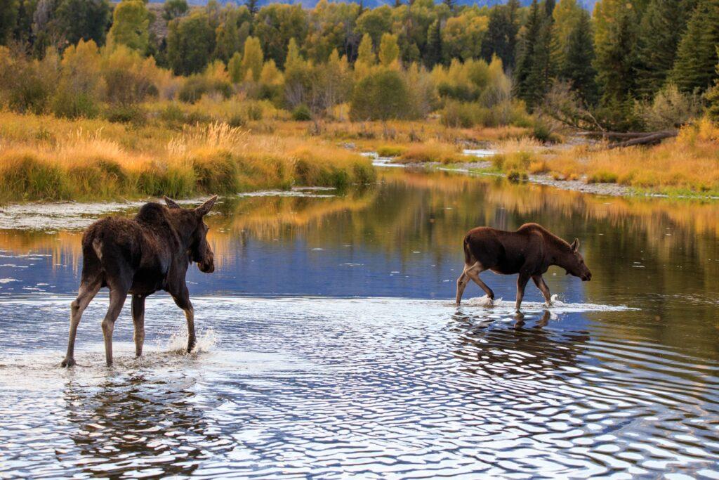 Moose near Jackson Hole, Wyoming.
