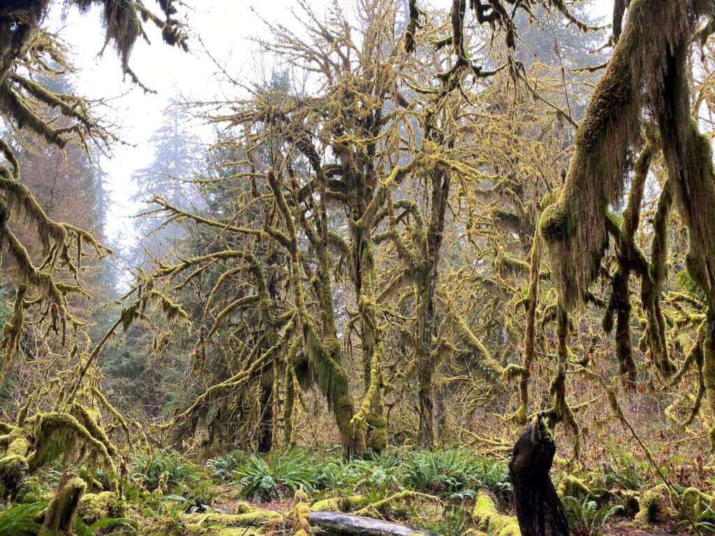 Moss-covered trees in a rain forest.