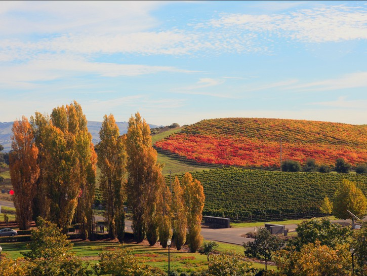 Napa Valley in the fall, leaves changing colors