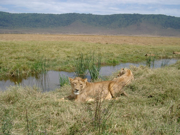 Ngorongoro Conservation Area lions
