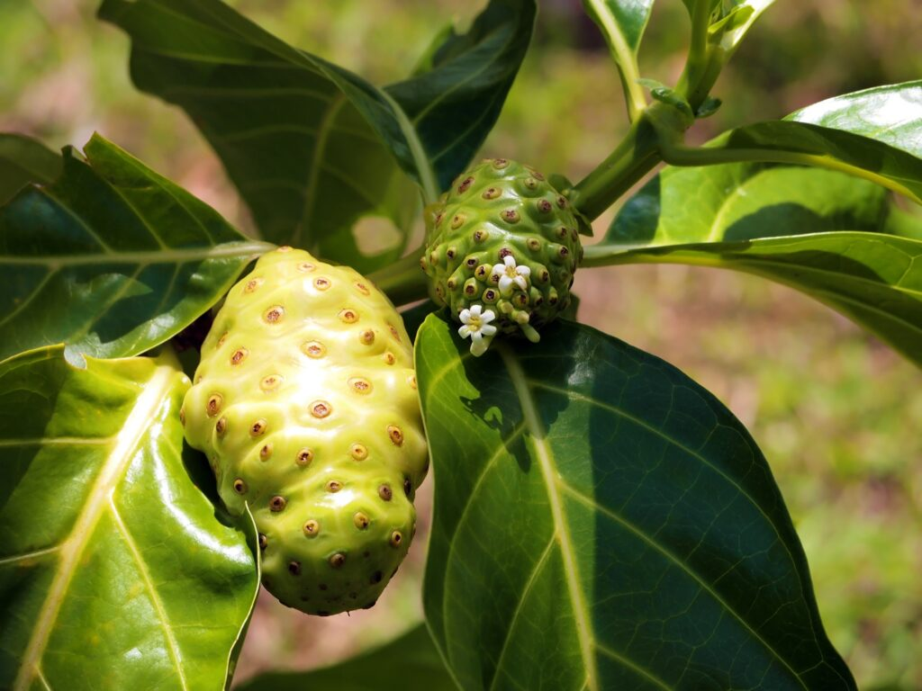 Noni growing on a tree in Costa Rica.