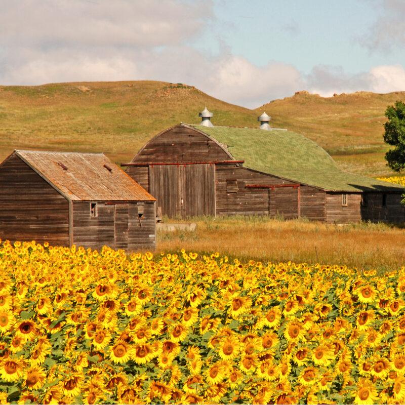 North Dakota Sunflowers.