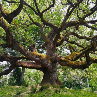 Oak of the Witches in Capannori, Italy.