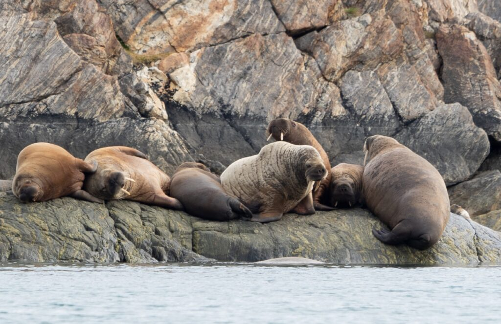 Observing seals in the Arctic.