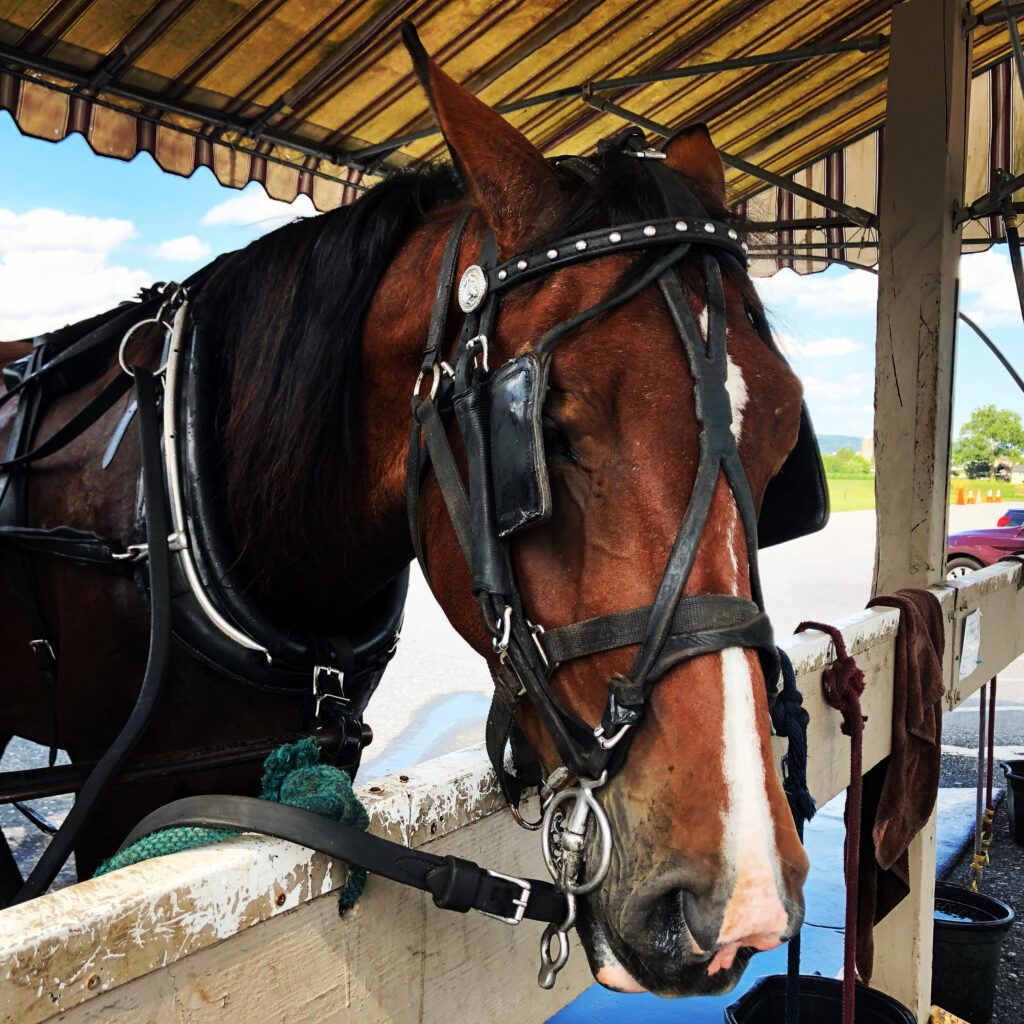 One of the horses pulling the buggy.