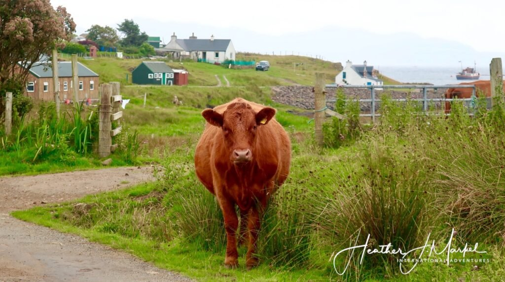 One of the many cows on the Isle of Muck.
