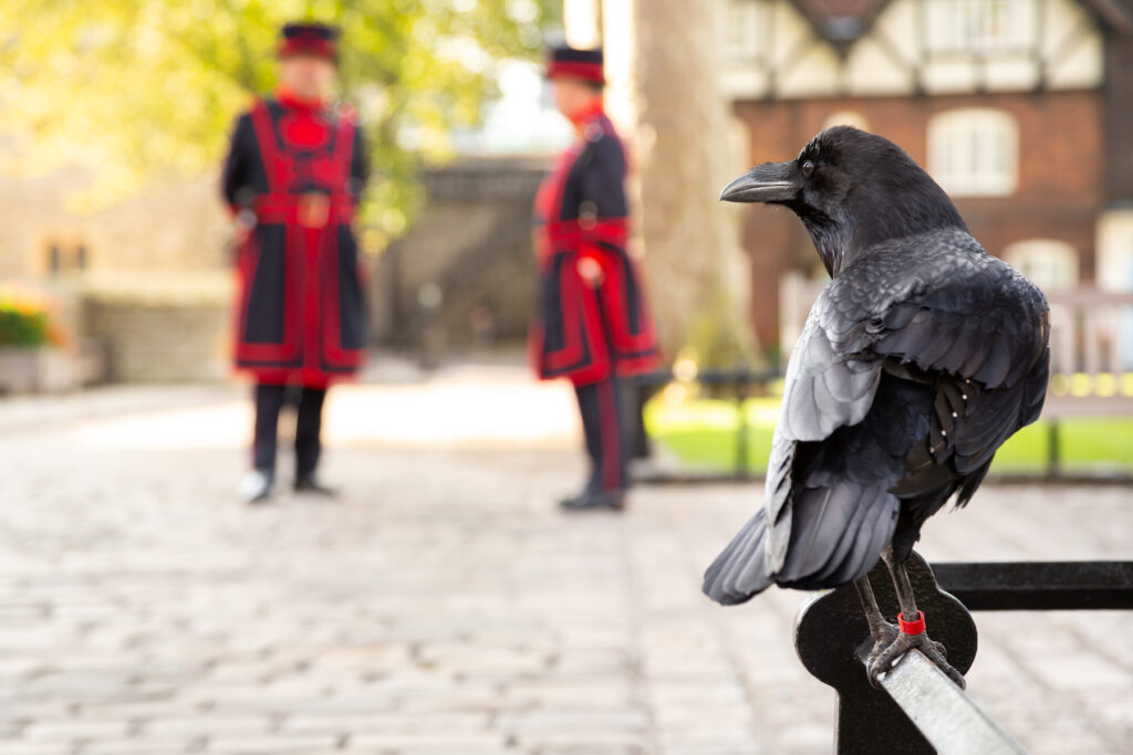 One of the ravens at the Tower of London.
