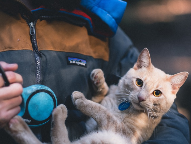 Orange cat with a blue collar and name tag is cuddled by a person holding a leash.