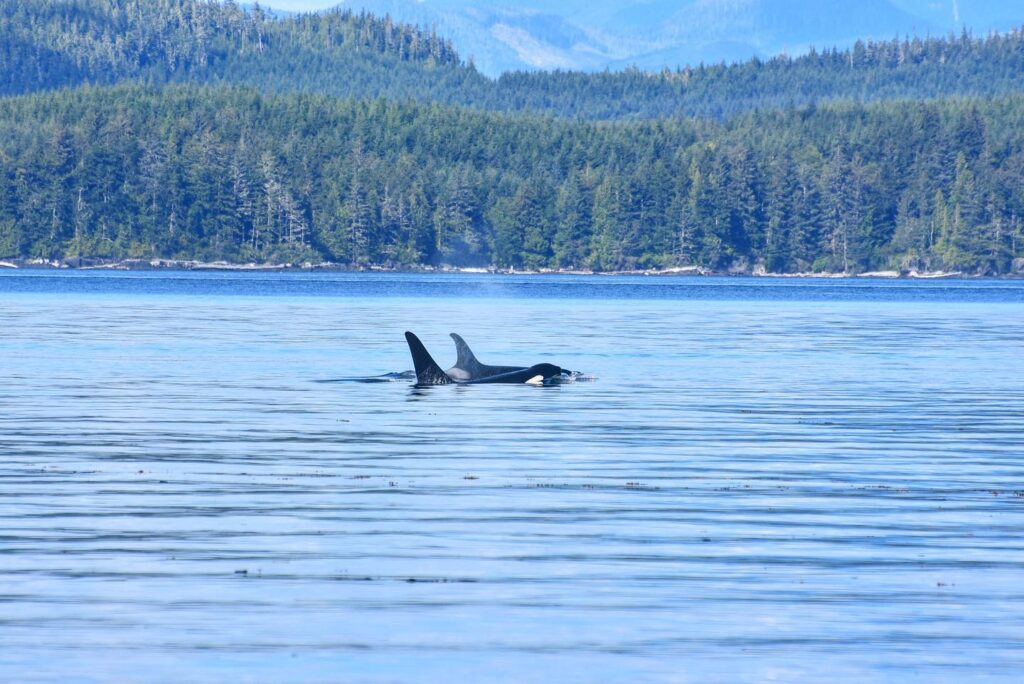 Orca whales in the waters of Telegraph Cove.