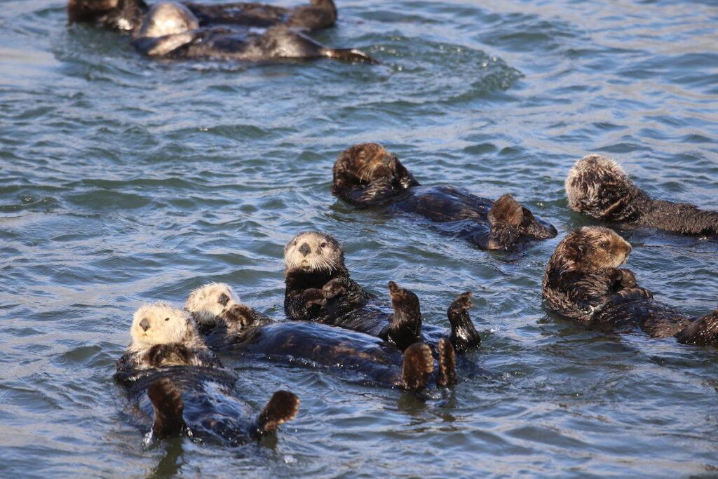 Otters in Elkhorn Slough, California.